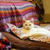 【里親募集】仔猫の里親探してます~白猫兄妹<イカシリーズ>