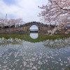 第227話『さくらさく?』太湖鼋头渚夜公园でお花見!の巻