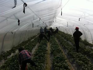 本日は朝早くから青浦にある苺農園に行って参りました。ご家族連れも参加され、